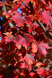 Autumn Flame Red Maple (Acer rubrum 'Autumn Flame') at Gardens To Go