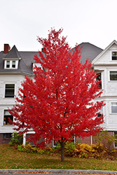 Sun Valley Red Maple (Acer rubrum 'Sun Valley') at Gardens To Go