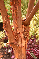 Paperbark Maple (Acer griseum) at Gardens To Go