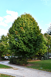 Legacy Sugar Maple (Acer saccharum 'Legacy') at Gardens To Go