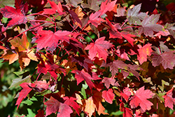 Redpointe Red Maple (Acer rubrum 'Redpointe') at Gardens To Go