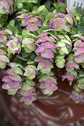 Kirigami Oregano (Origanum 'Kirigami') at Gardens To Go