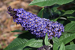 Pugster® Blue Butterfly Bush (Buddleia 'SMNBDBT') at Gardens To Go