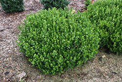 Sprinter® Boxwood (Buxus microphylla 'Bulthouse') at Gardens To Go