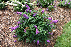 Pugster® Periwinkle Butterfly Bush (Buddleia 'SMNBDO') at Gardens To Go