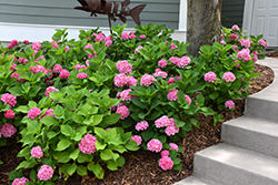 Let's Dance® Rhythmic Blue™ Hydrangea (Hydrangea macrophylla 'SMHMES14') at Gardens To Go
