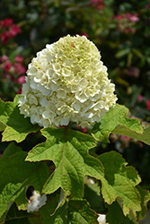 Gatsby Moon® Hydrangea (Hydrangea quercifolia 'Brother Edward') at Gardens To Go