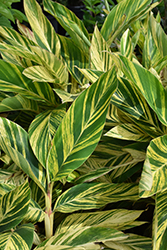 Variegated Shell Ginger (Alpinia zerumbet 'Variegata') at Gardens To Go