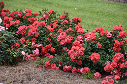 Coral Drift® Rose (Rosa 'Meidrifora') at Gardens To Go