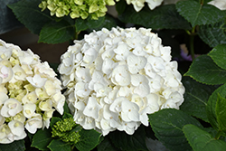 Blushing Bride® Hydrangea (Hydrangea macrophylla 'Blushing Bride') at Gardens To Go