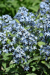Storm Cloud Bluestar (Amsonia tabernaemontana 'Storm Cloud') at Gardens To Go